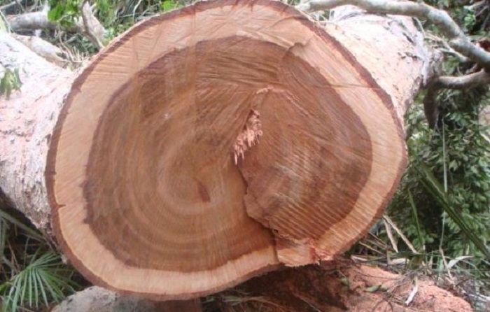 Thân gỗ xoan đào xù xì hơn gỗ nhẹ và bền